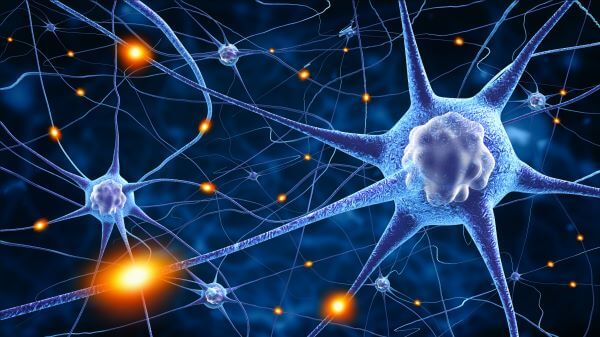 A nerve cell receives and transmits information