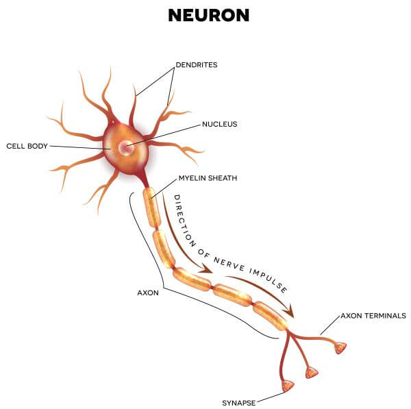 Neurons have a cell body, dendrites, and an axon