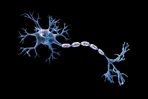 What is the anatomy of a neuron?