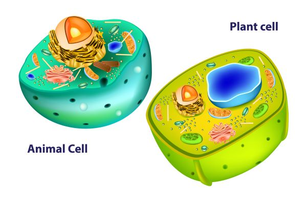 Cell structures differ between plant and animal cells