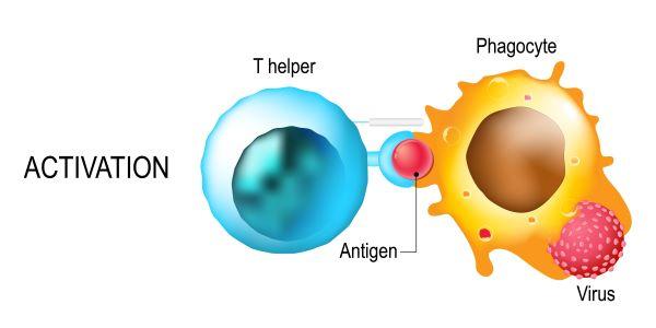 Antigen presenting cells activate T cells