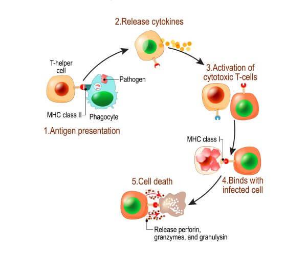 Helper T cells activate cytotoxic T cells