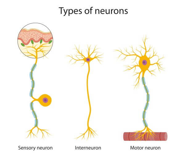 Nerve cells may be sensory neurons, motor neurons, or interneurons