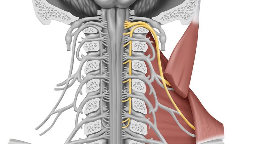 accessory nerve cervical vertebrae trapezius muscle neck