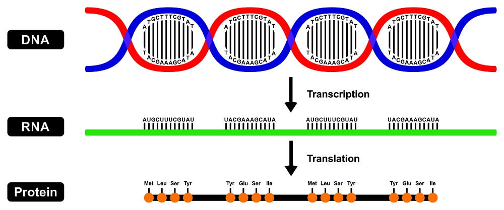 central dogma diagram flow protein synthesis rna dna transcription translation ribosome