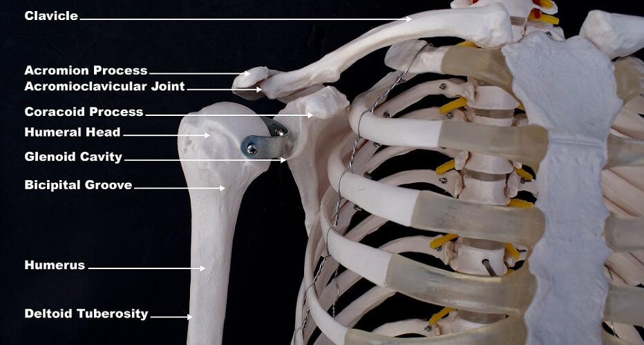 shoulder glenoid cavity gap acromion humerus clavicle collar bone ribs