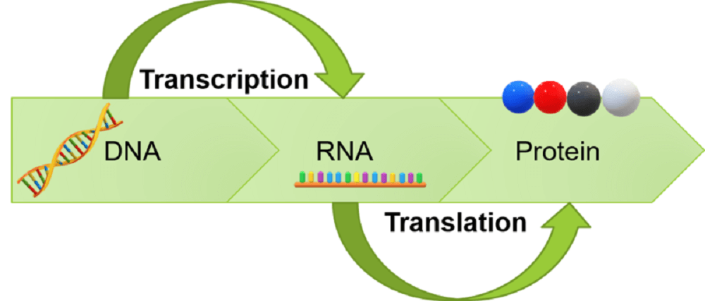 protein synthesis central dogma DNA RNA translation transcription ribosome