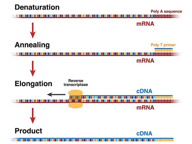 reverse transcription central dogma