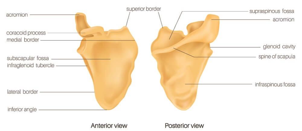 scapula scapulae shoyulder blade blades bone flat acromion spine scapular