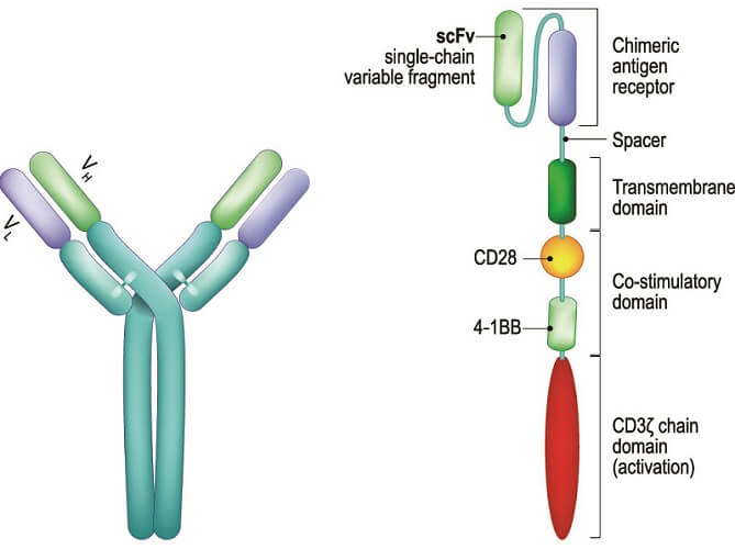 chimeric antigen receptor CAR T cell therapy cancer immunotherapy