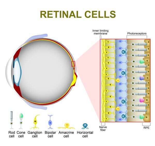 Ganglion cells receive visual information from rods and cones in the retina