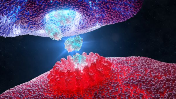 Cytotoxic T cells kill infected cells and pathogens directly