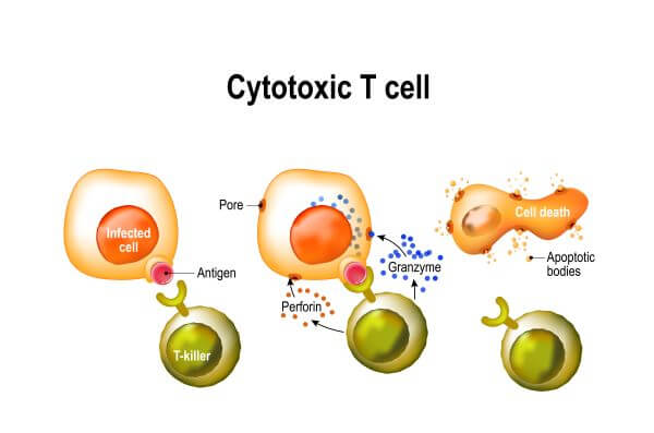 Cytotoxic T cells release cytotoxic granules containing perforin and granzymes