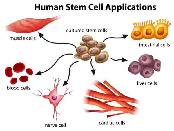 Stem cells can diffeentiate into other types of human cells