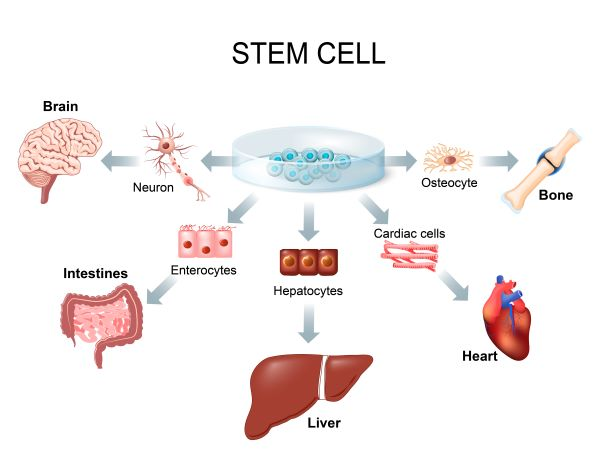 Embryonic stem cells are used in preclinical drug trials