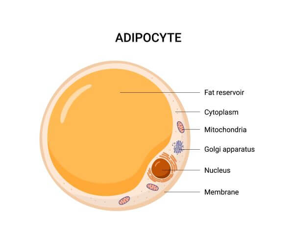The structure of a fat cell