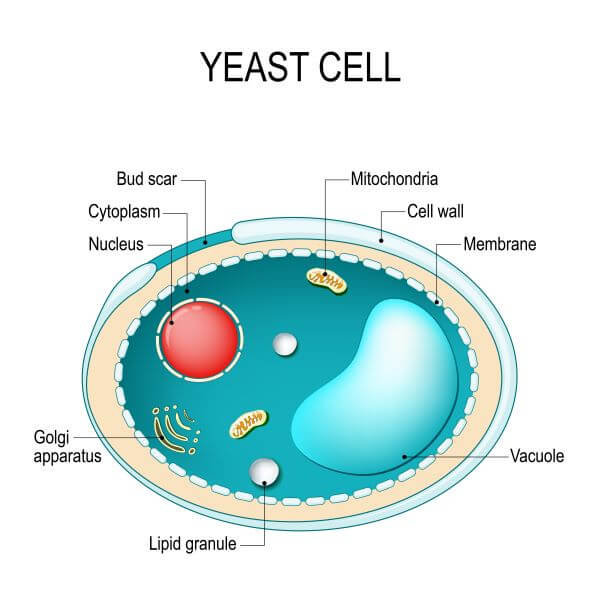 Fungi cells are an example of a eukaryotic cell