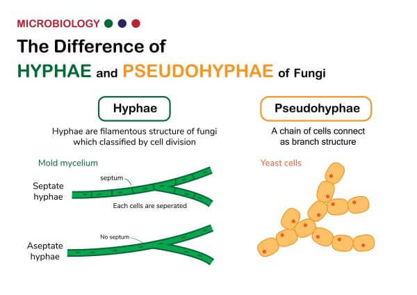 Hyphae and pseudohyphae look similar but are not the same