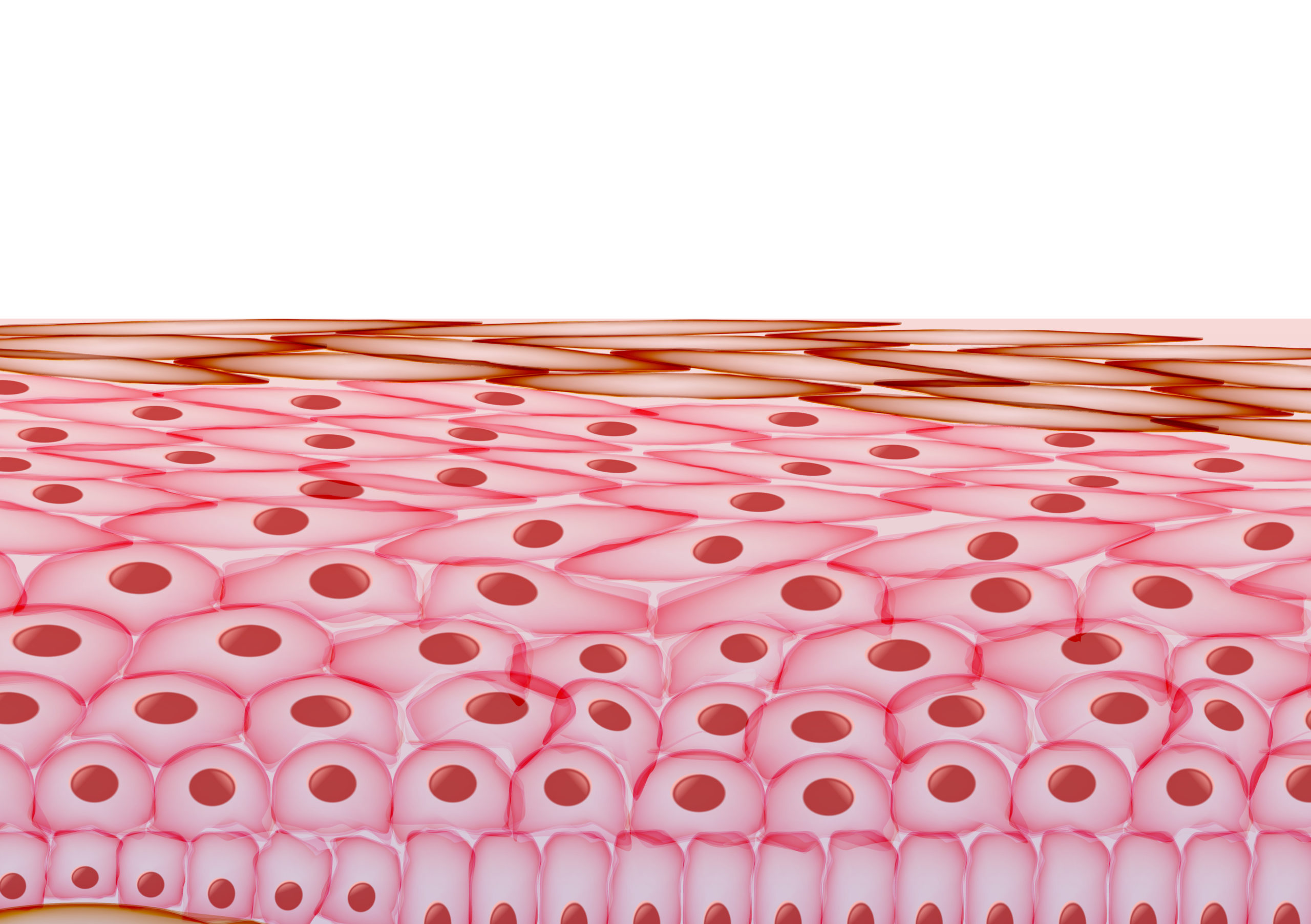 The morphology of keratinocytes changes as they differentiate