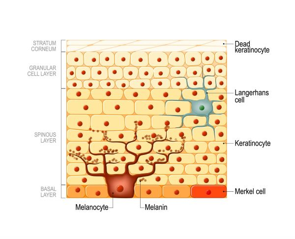 Langerhans cells are usually found in the spinous layer of the epidermis