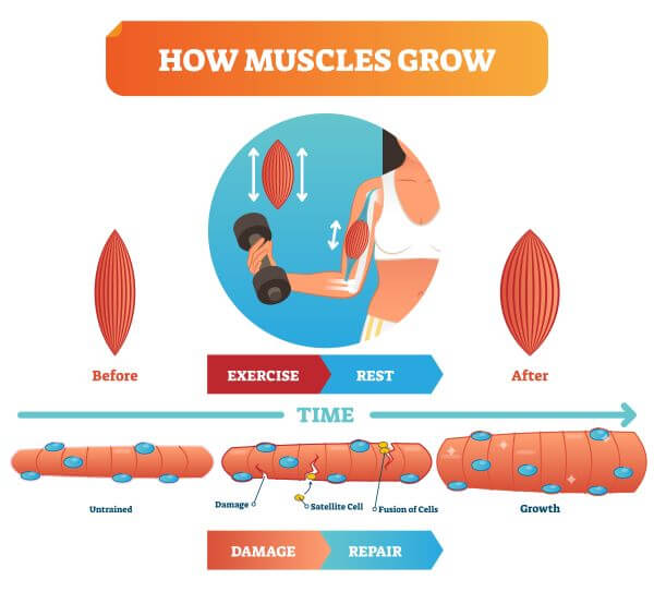 Satellite cells can play a role in muscle hypertrophy