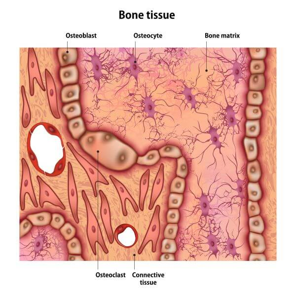 Osteocytes account for up to 95% of all bone cells