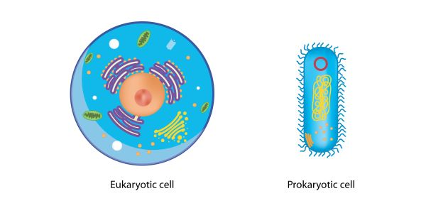The two types of cells on Earth are prokaryotes and eukaryotes