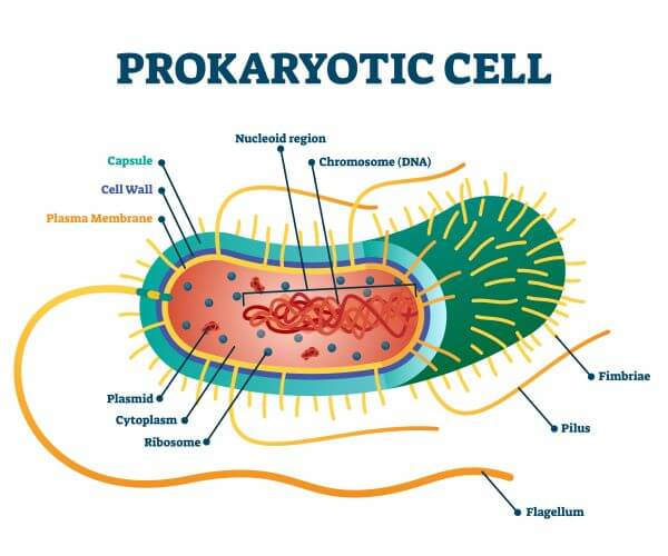 Bacteria and archaea are prokaryotic cells