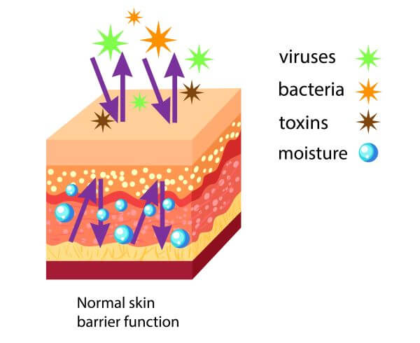 Skin Cell - The Definitive Guide | Biology Dictionary