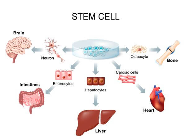 Stem cells can turn into other types of cells