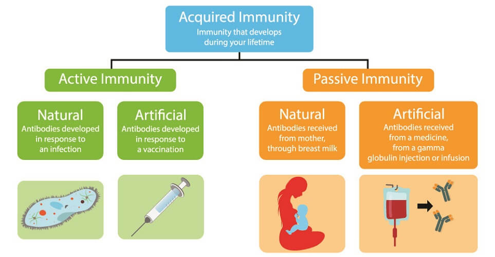 acquired immunity leukocytes lymphocytes vaccination