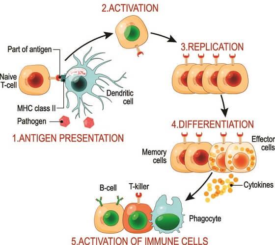 adaptive immune system t b cells antigen antibody apc