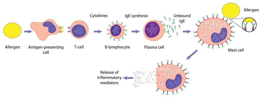 allergy allergic response leukocyte histamine cytokine