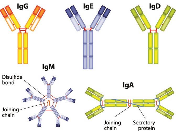 antobodies immune response humoral immunity white blood cell T B antigen IgE igM igA
