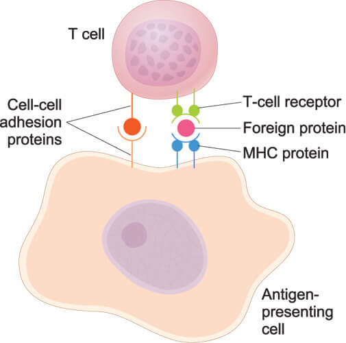 antigen presenting cell white blood leukocyte immunity immune system