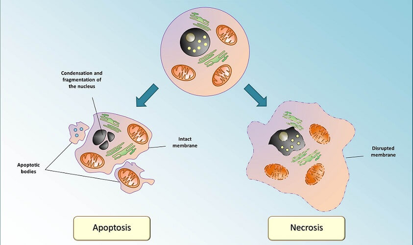 apoptosis cell death natural cancer