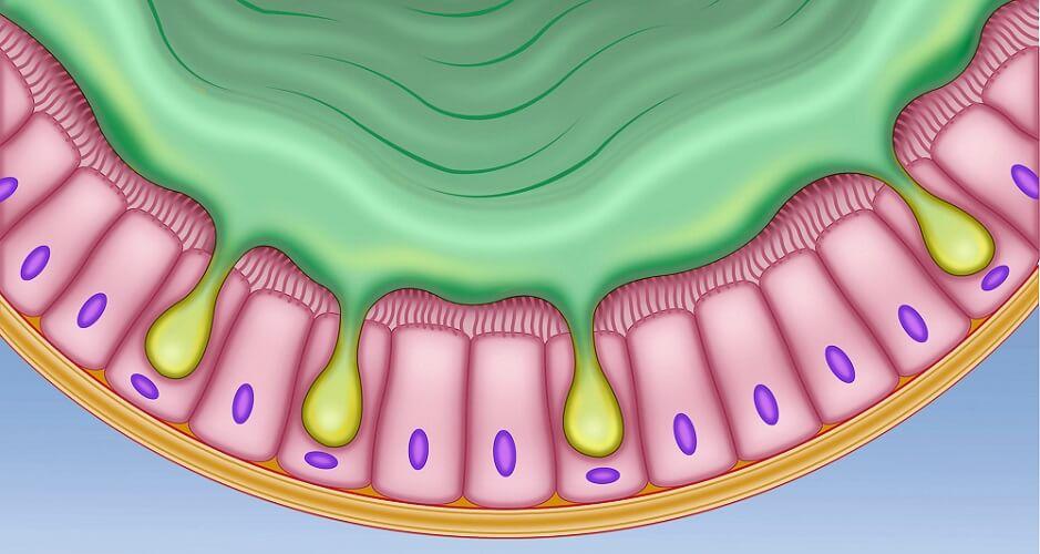 basal cell membrane intestinal mucosa gut secretory cells ciliated columnar