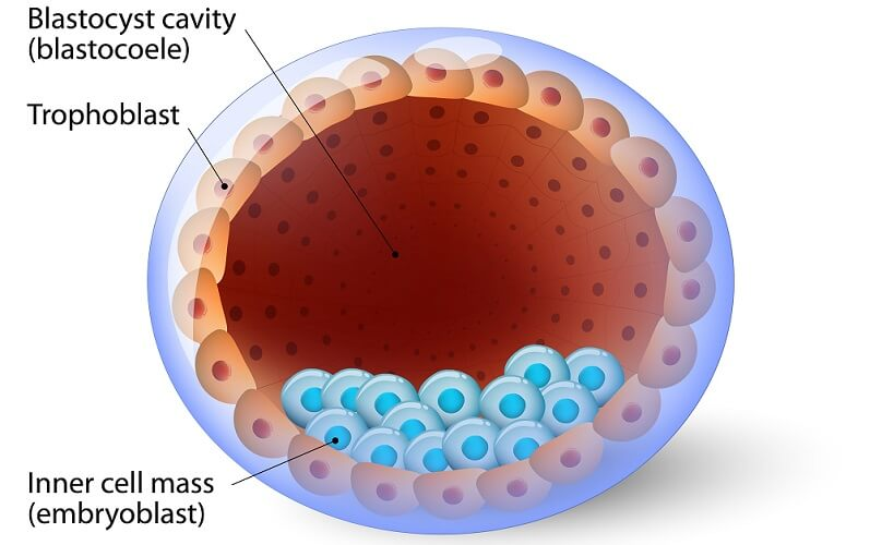 blastocyst embryo