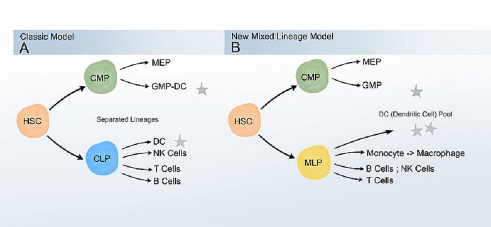 dendritic cell lineage white blood leukocyte