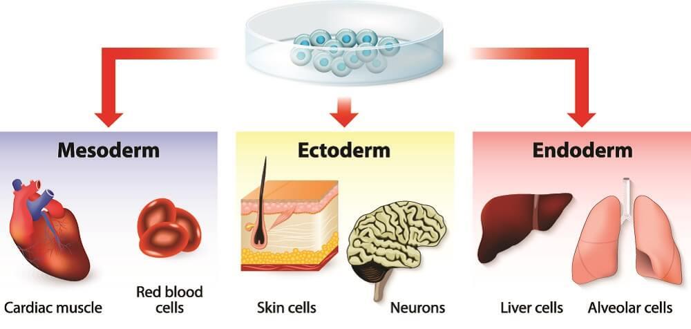 ectoderm endoderm mesoderm gastrulation epithelium