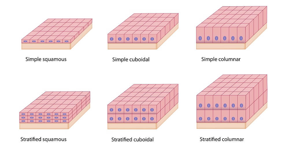 epithelium types squamous cell columnar cuboidal simple stratified