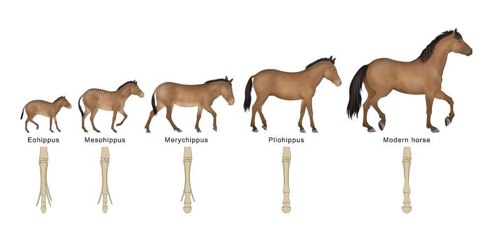 evolution horse gene mutations eohippus