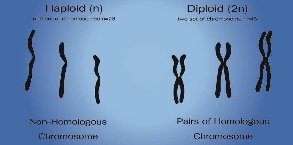 haploid diploid sperm cell egg somatic homozygous heterozygous