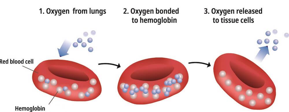 hemoglobin oxygen dissociation red blood cell O2 iron heme