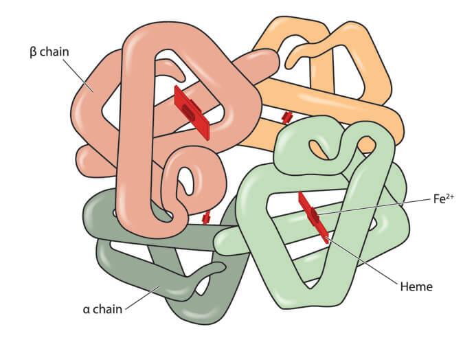 hemoglobin haemoglobin heme haem globin protein quaternary iron Fe red blood cell erythrocyte