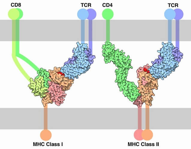 mhc12 membrane proteins white blood cells natural killer