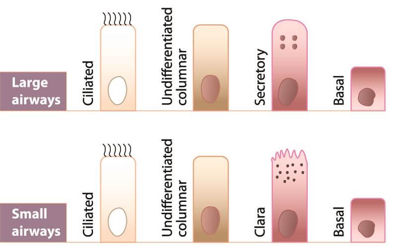 nasal mucosa basal cell secretory ciliated columnar