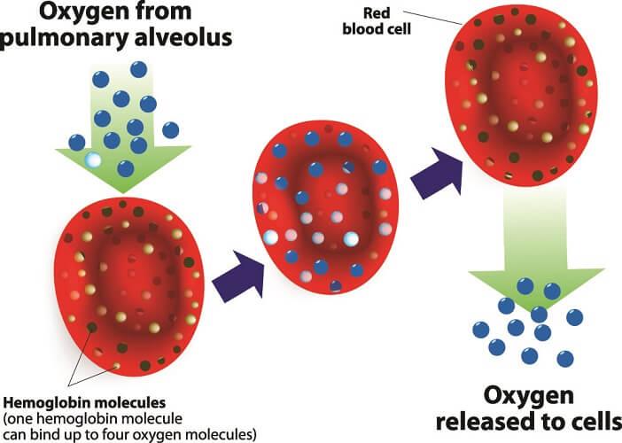 red blood cell erythrocyte oxygen transport