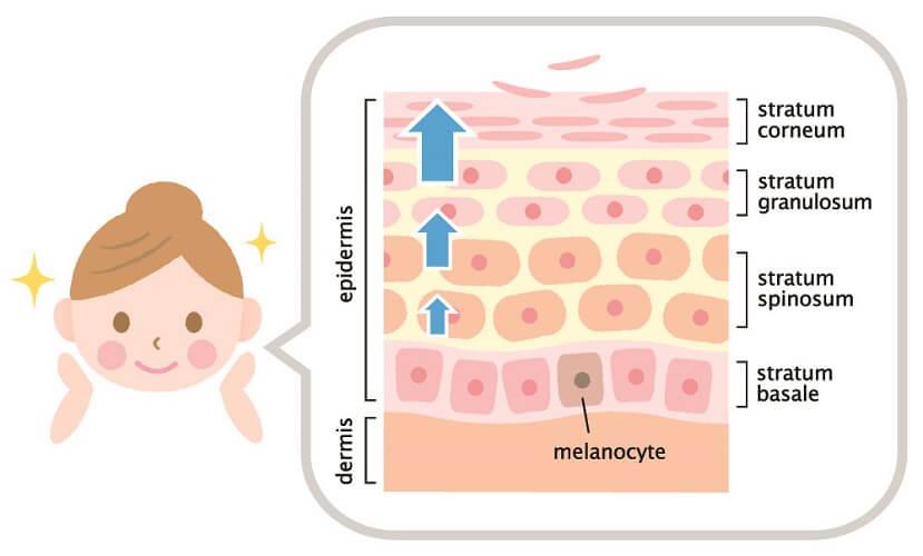 skin growth squamous cell granular basal prickle stratum epidermis membrane squames