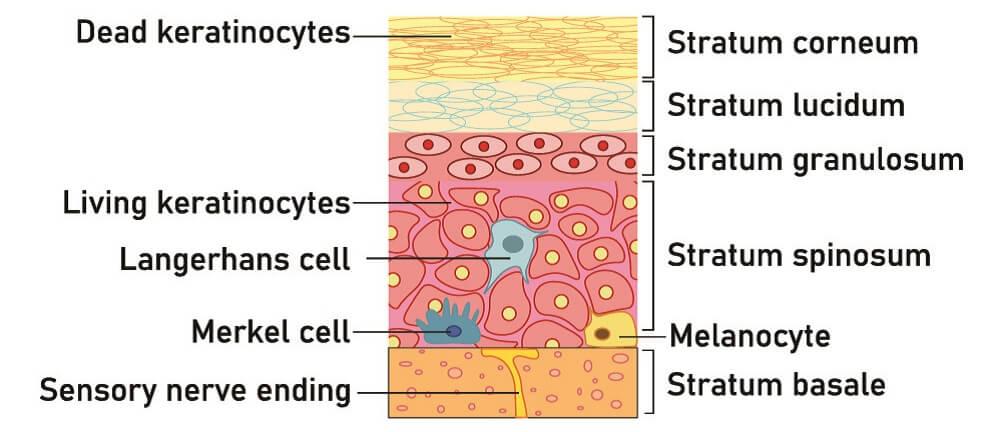 skin epidermis layers basal cell keratinocyte